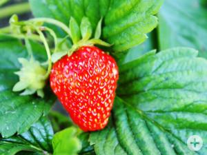 Erdbeer am Strauch